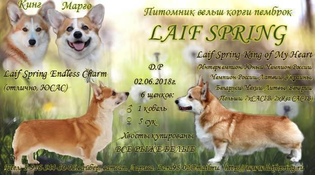 Laif Spring - Corgi Puppies